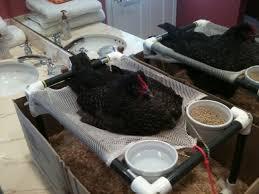 chicken sling pvc.jpg