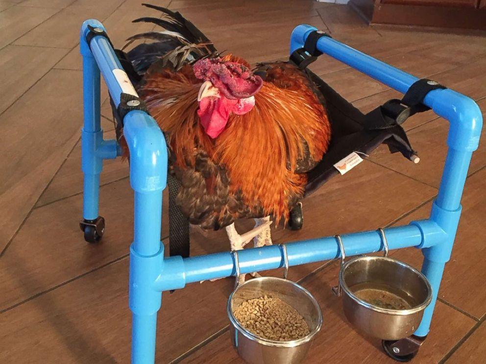 chicken-wheelchair-ht-03-jpo-171128_4x3_992.jpg