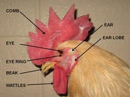 Chicken_head2.png