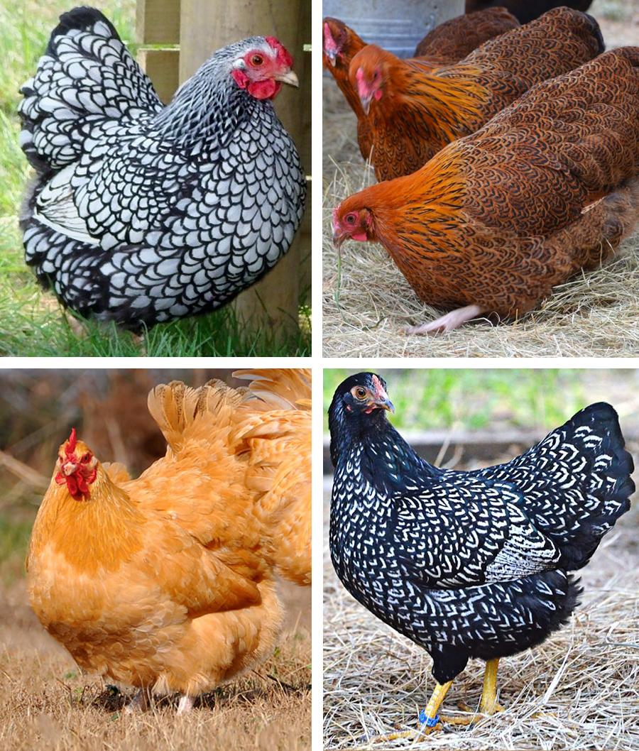 ChickenBreeds2.jpg