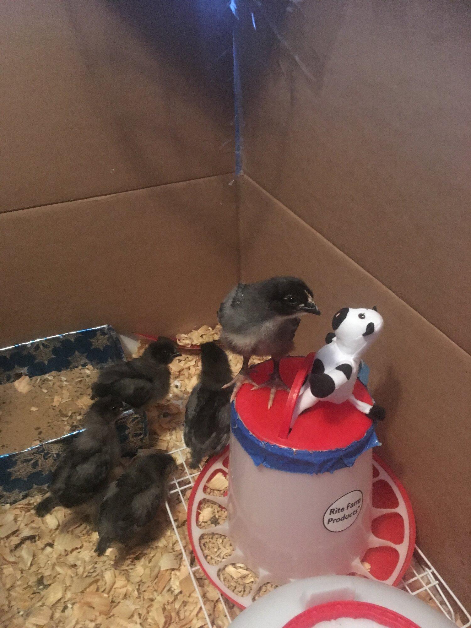 Chickens 03 11 19 3.JPG