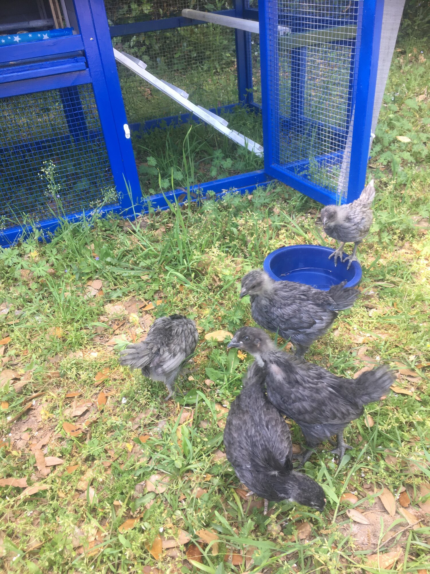 Chickens 03 24 19 12.JPG
