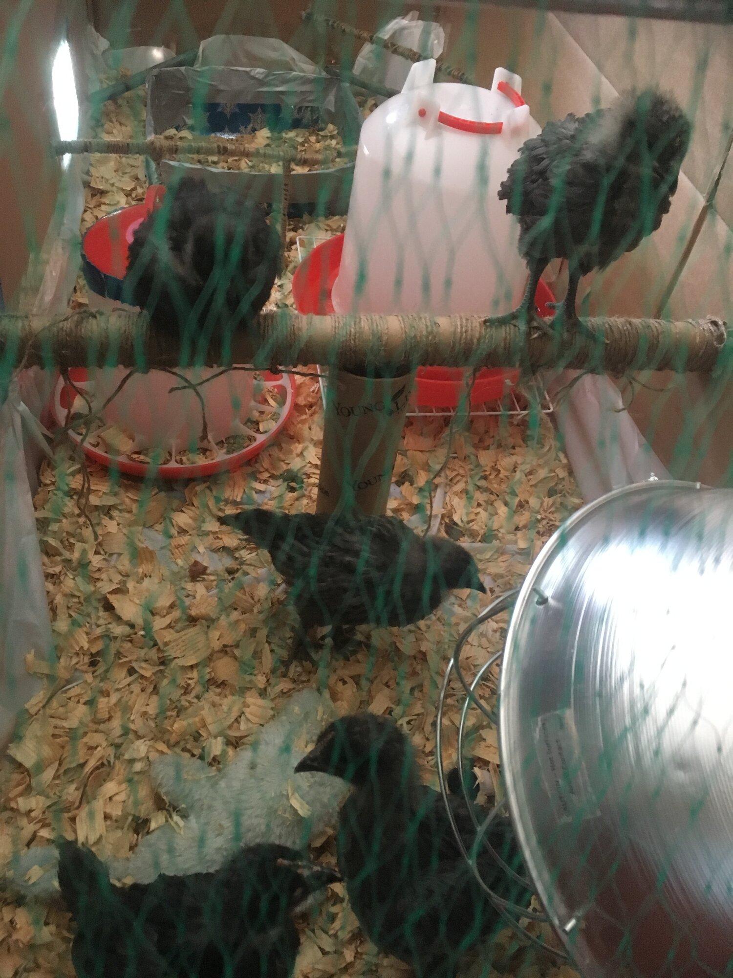 Chickens 03 24 19 2.JPG