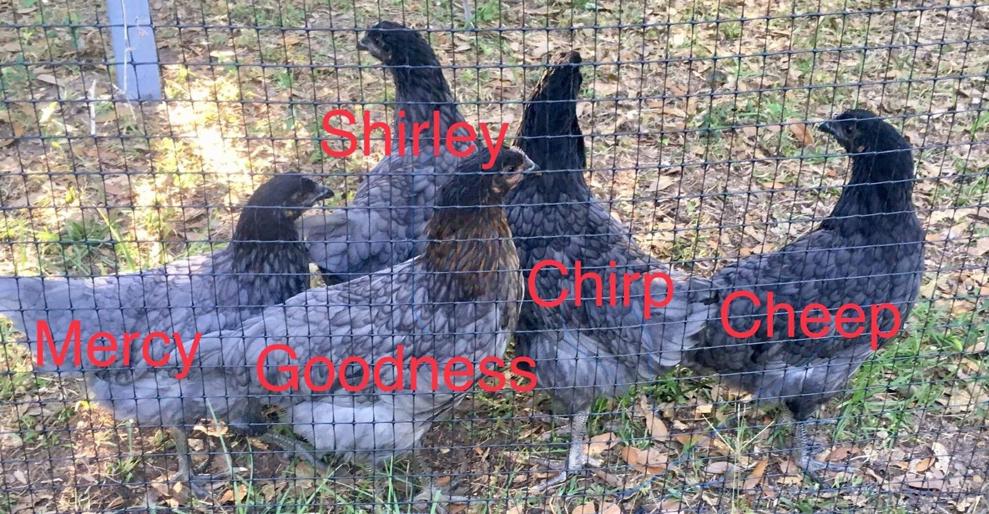 Chickens 05 06 19 1.JPG
