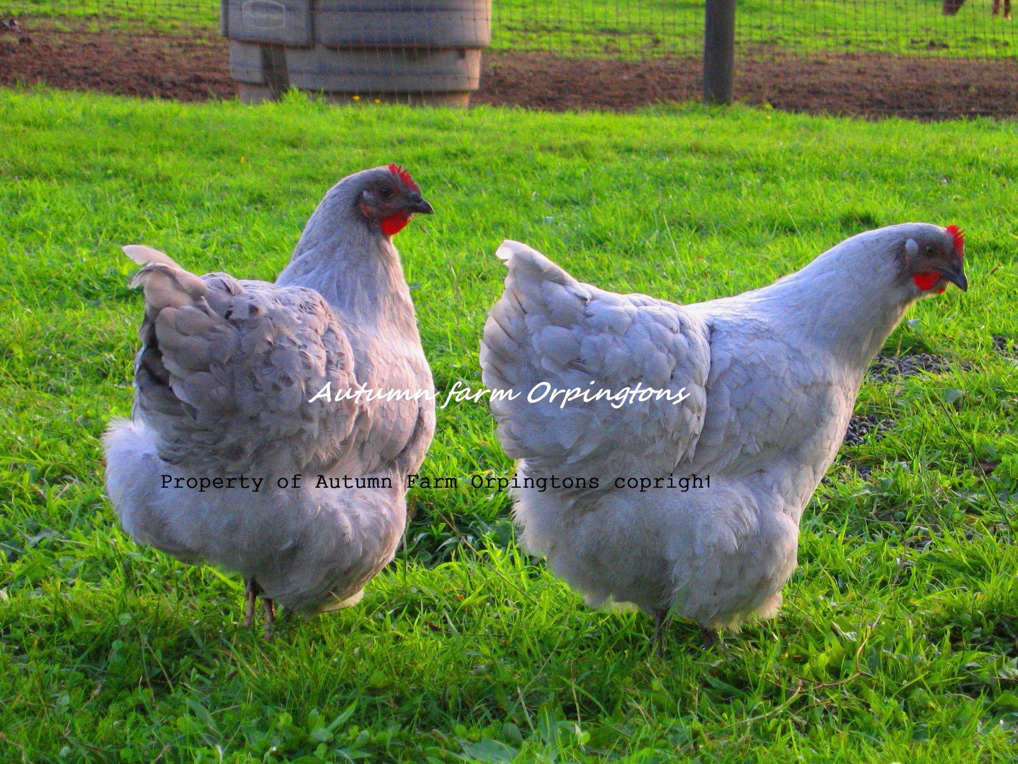 Chickens 10-25-11 040.JPG
