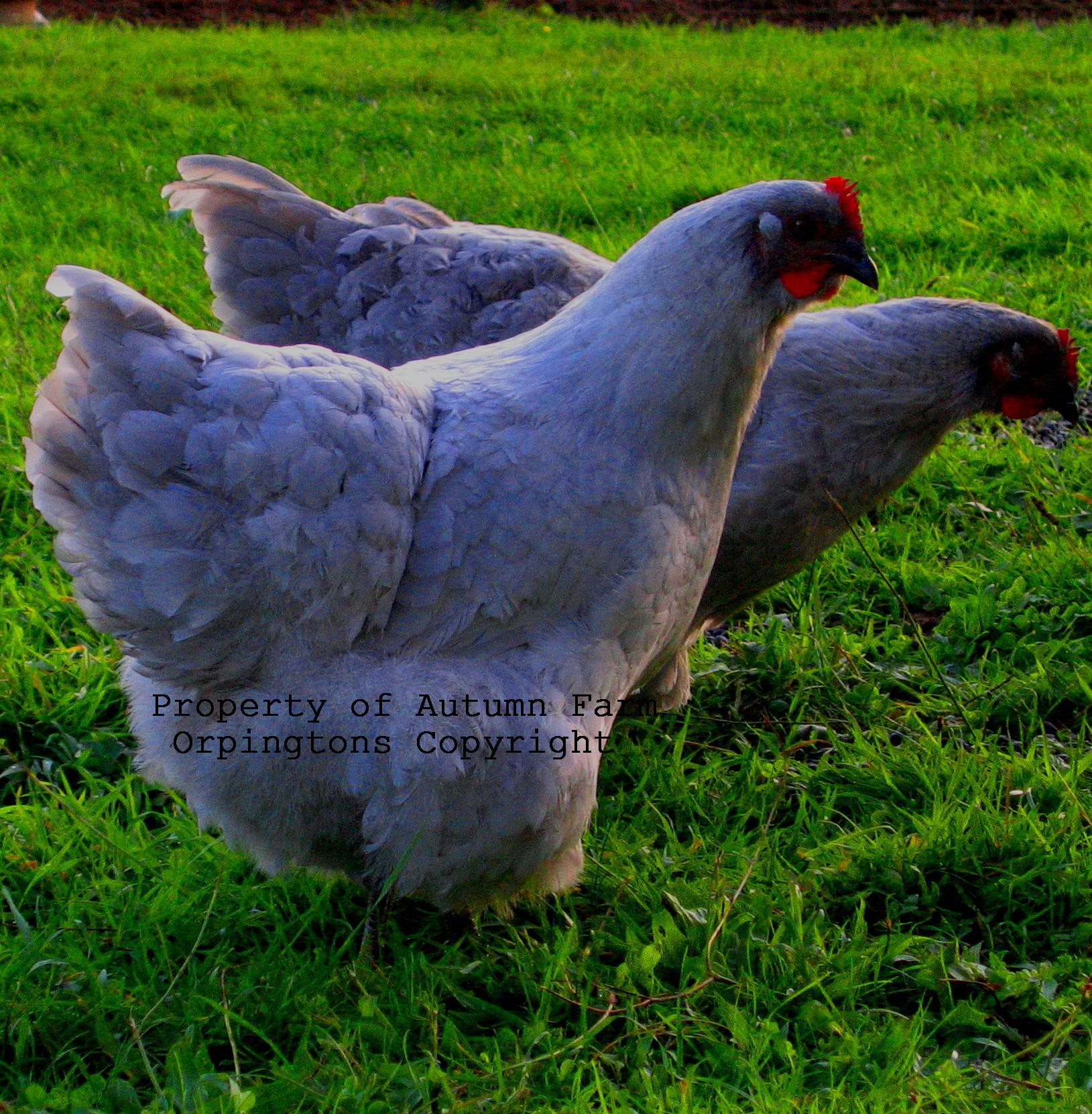Chickens 10-25-11 042.JPG