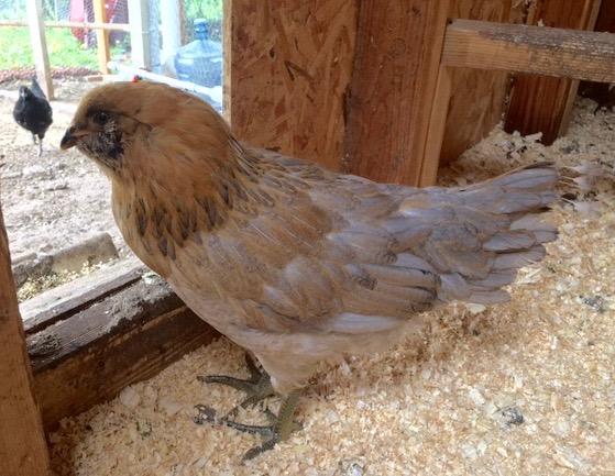 Chickens 5-11-17 - 3.jpg