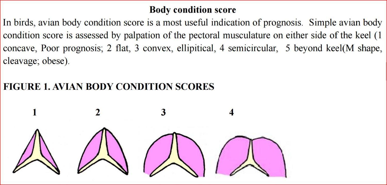 Chickens - Body Condition.jpg