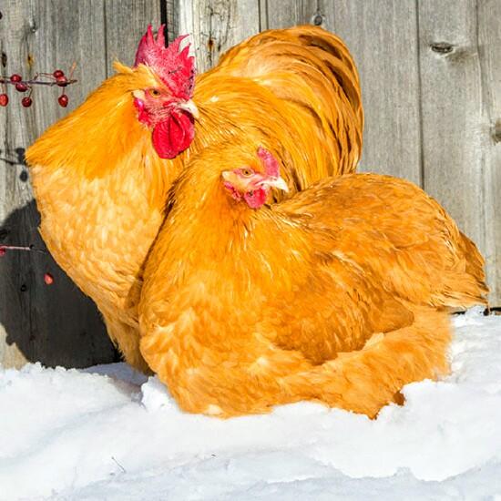 Chickens-in-Snow-Media jpg.jpg