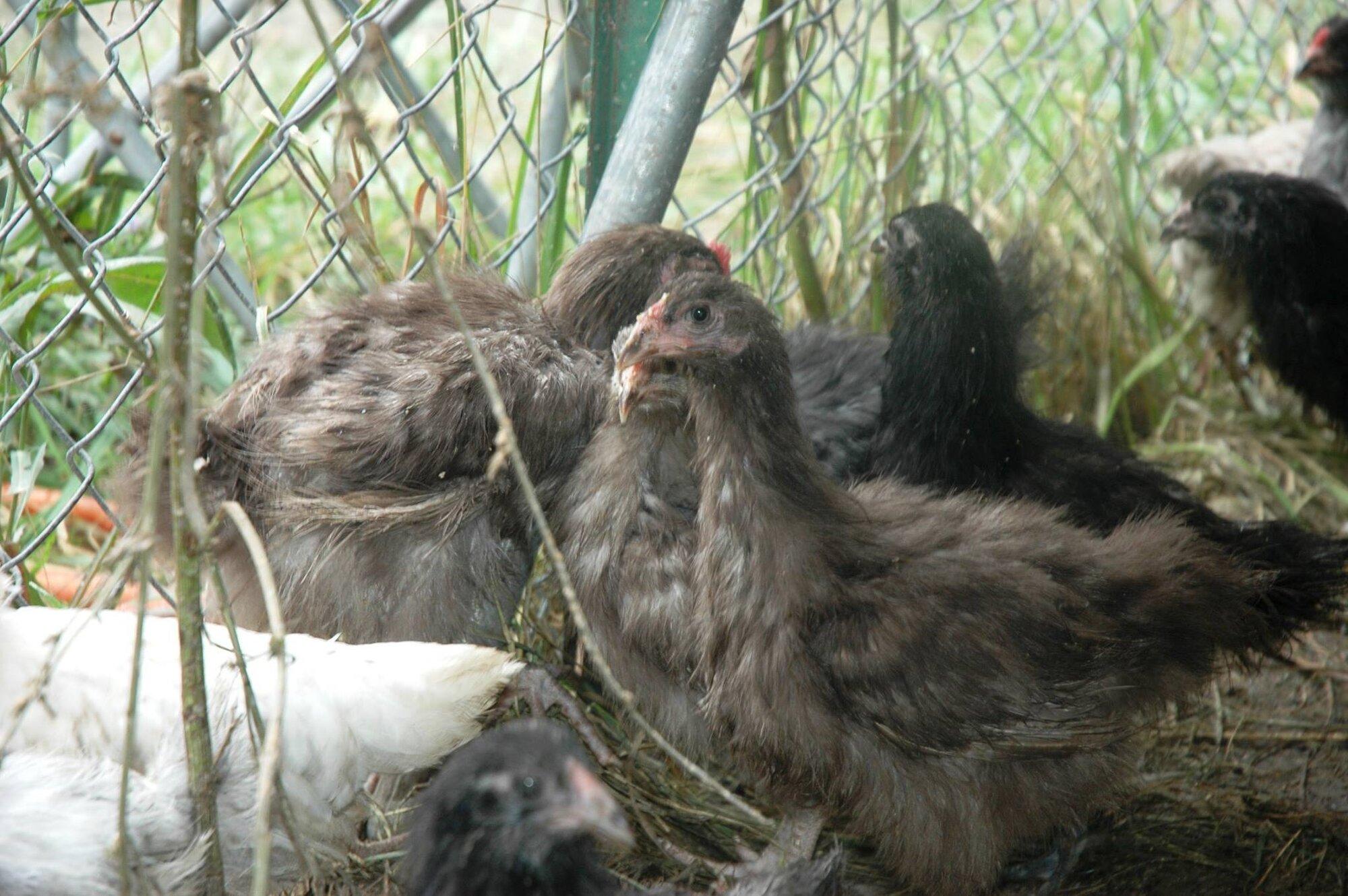 Chickens - SiAMs (4).jpg