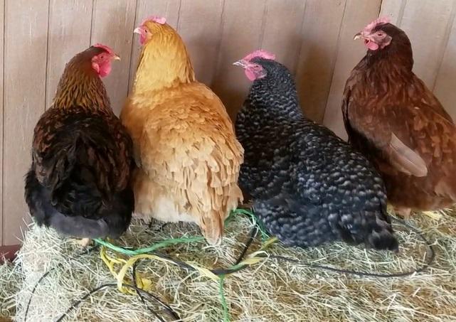 chickens4.jpg