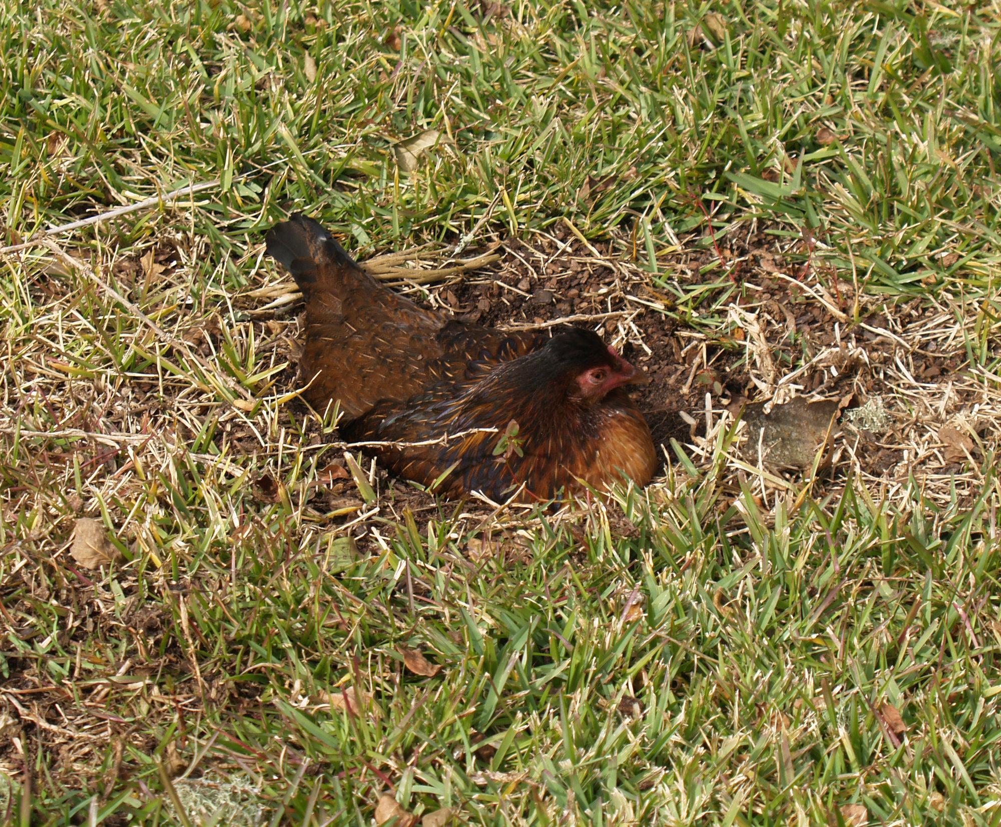 ChickenVisit3.jpg