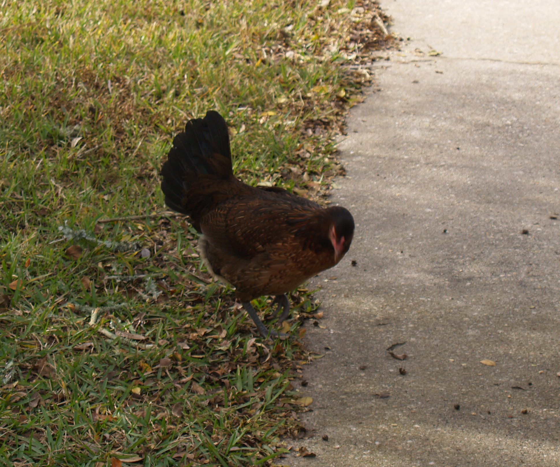 ChickenVisit6.jpg