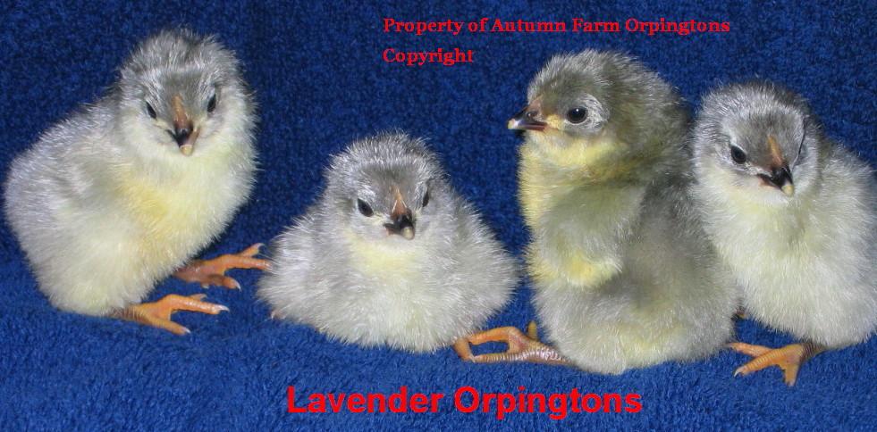 chicks 07-02-11,& Penny 024.JPG
