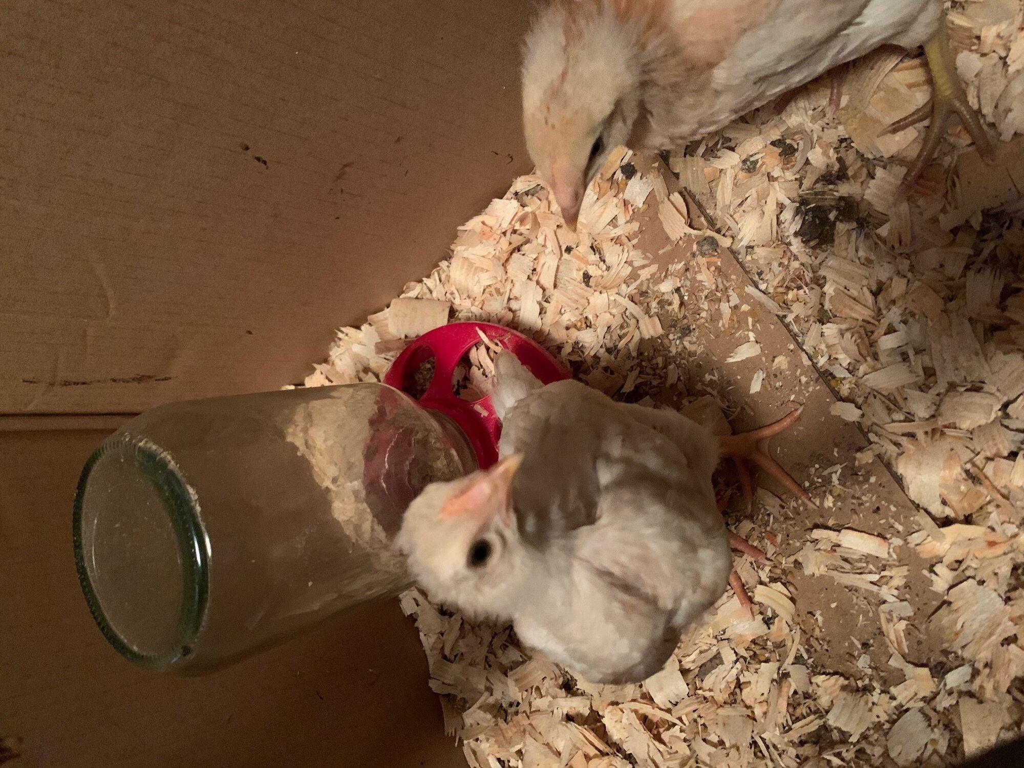 chicks 5.jpg