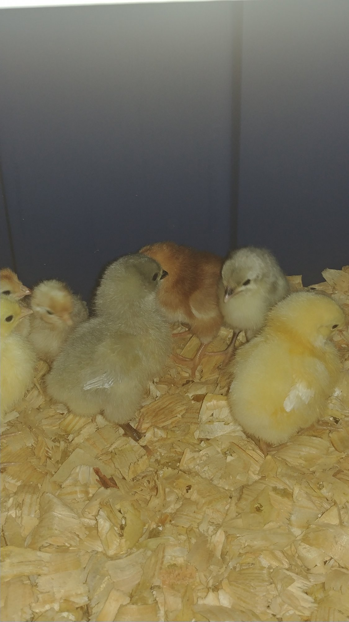 chicks 6-1-17.jpg