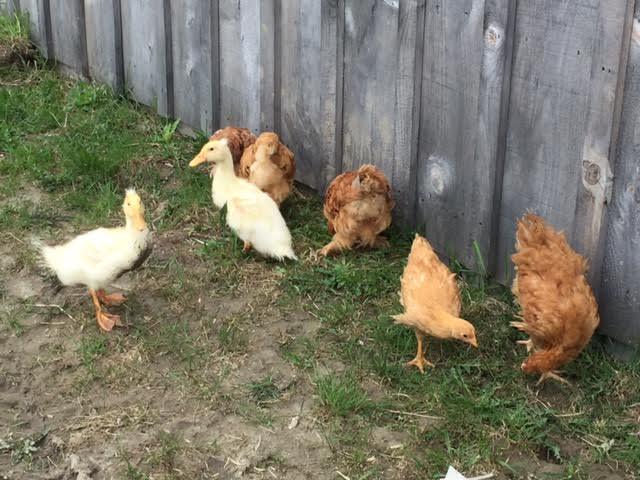 chicks and ducks.jpg