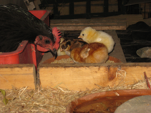 Chicks and mum day 3.png