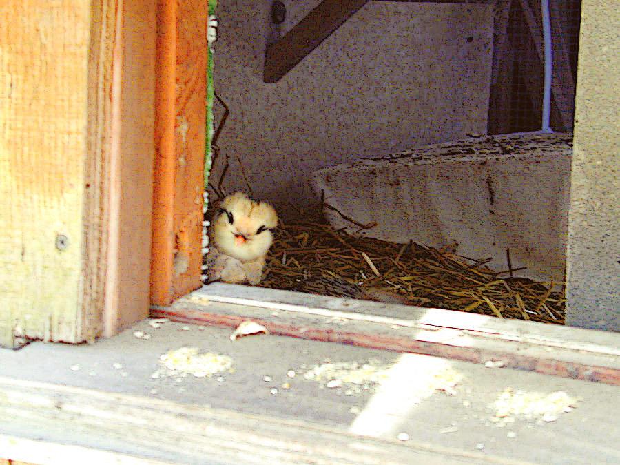 Chicks First Run 4-14-16 3ttedit.JPG