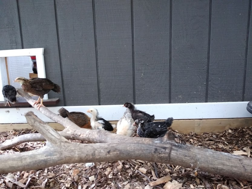 Chicks in brooder run.jpg