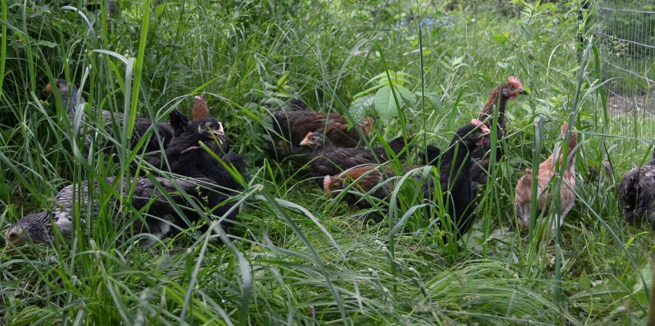 Chicks in the grass.jpg