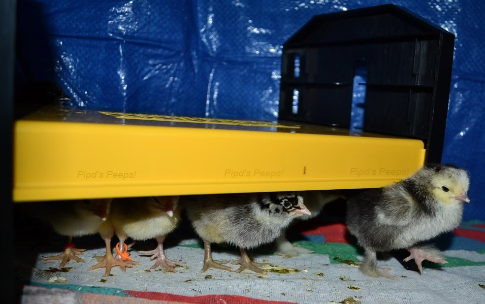 Chicks under EcoGlow pic for article.jpg