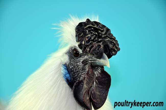 Comb-of-Male-White-Silkie-David-Pell.jpg