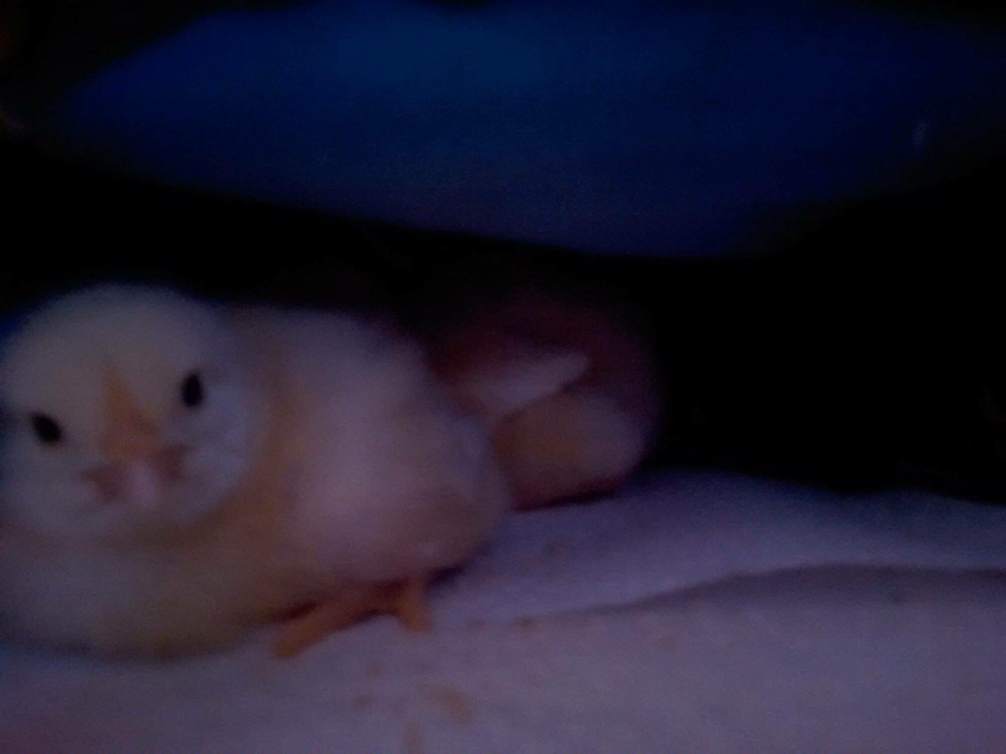 cx chick.jpg