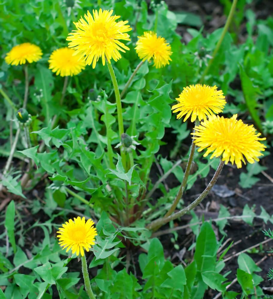 Dandelion-flowers.jpg