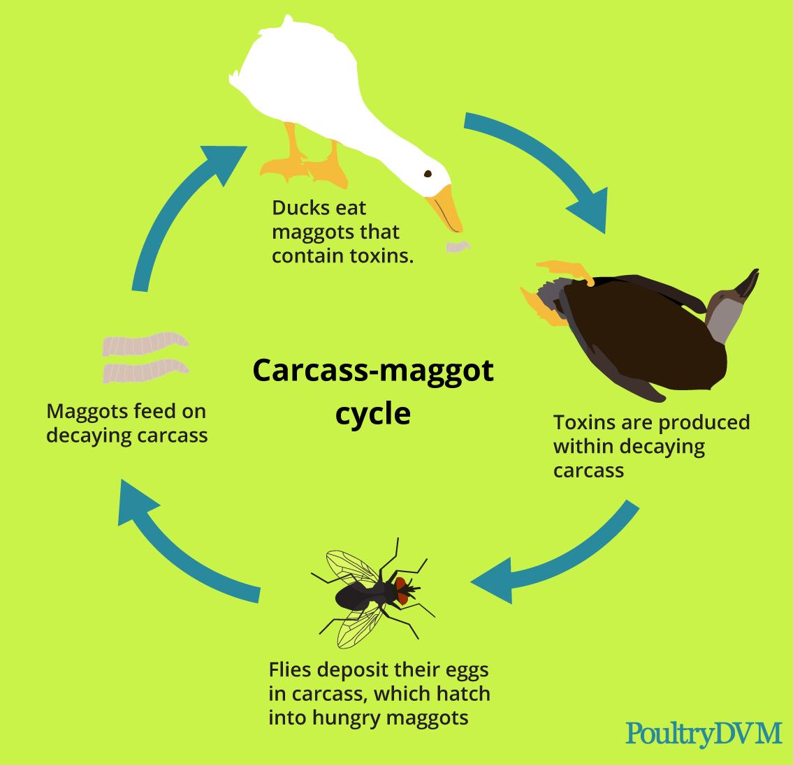 duckdvm-maggot-cycle.png