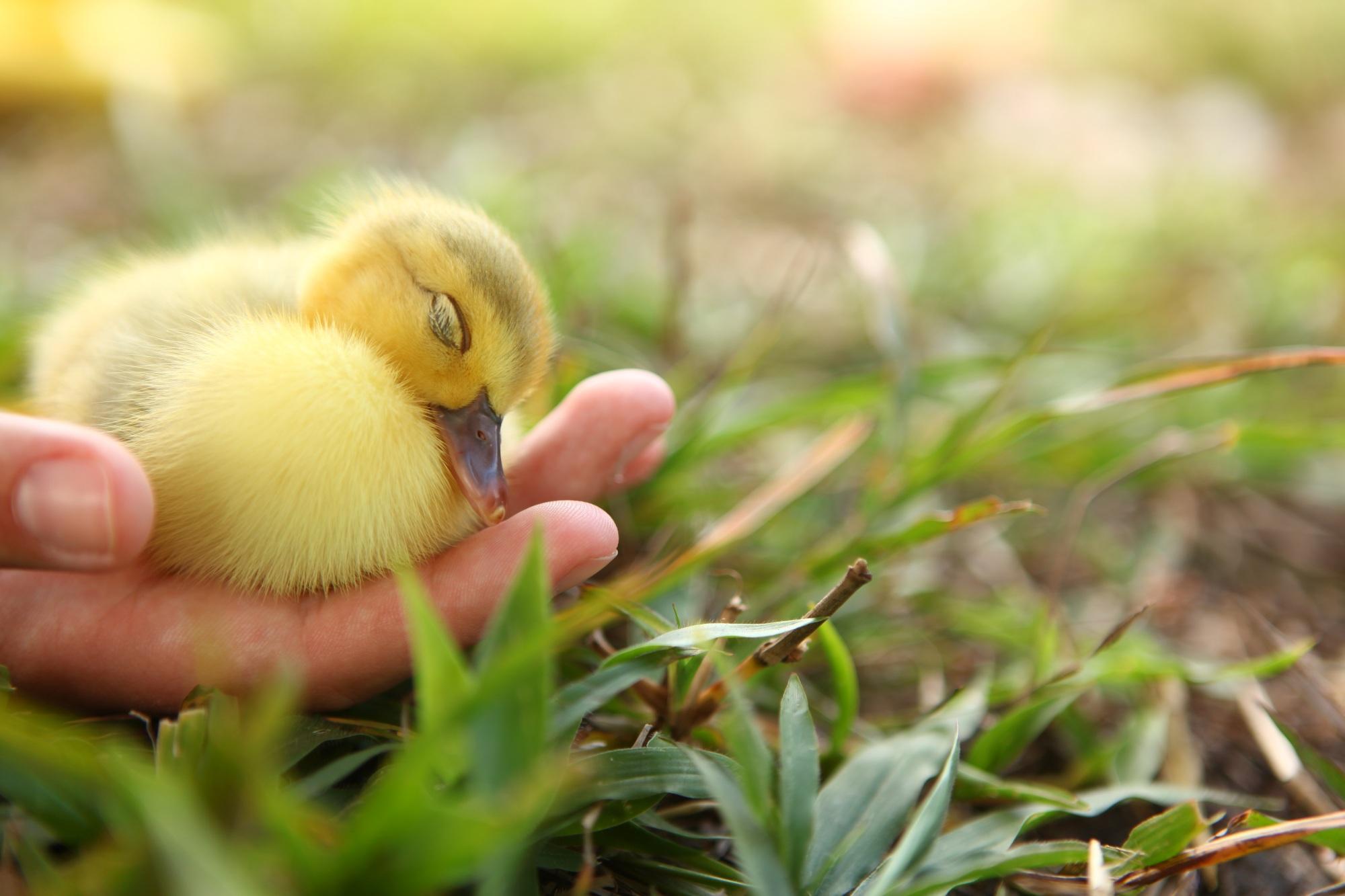 Duckling (2).JPG