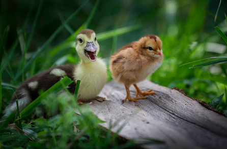 duckling-chick.png