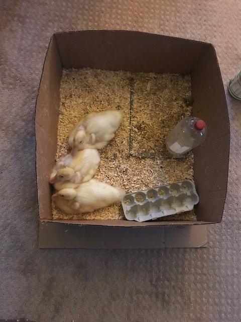 Ducklings.jpeg