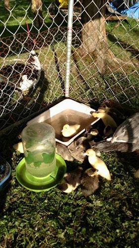 duckpic4.jpg