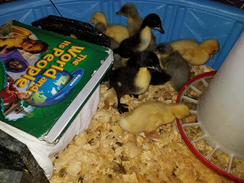 ducks one week.jpg