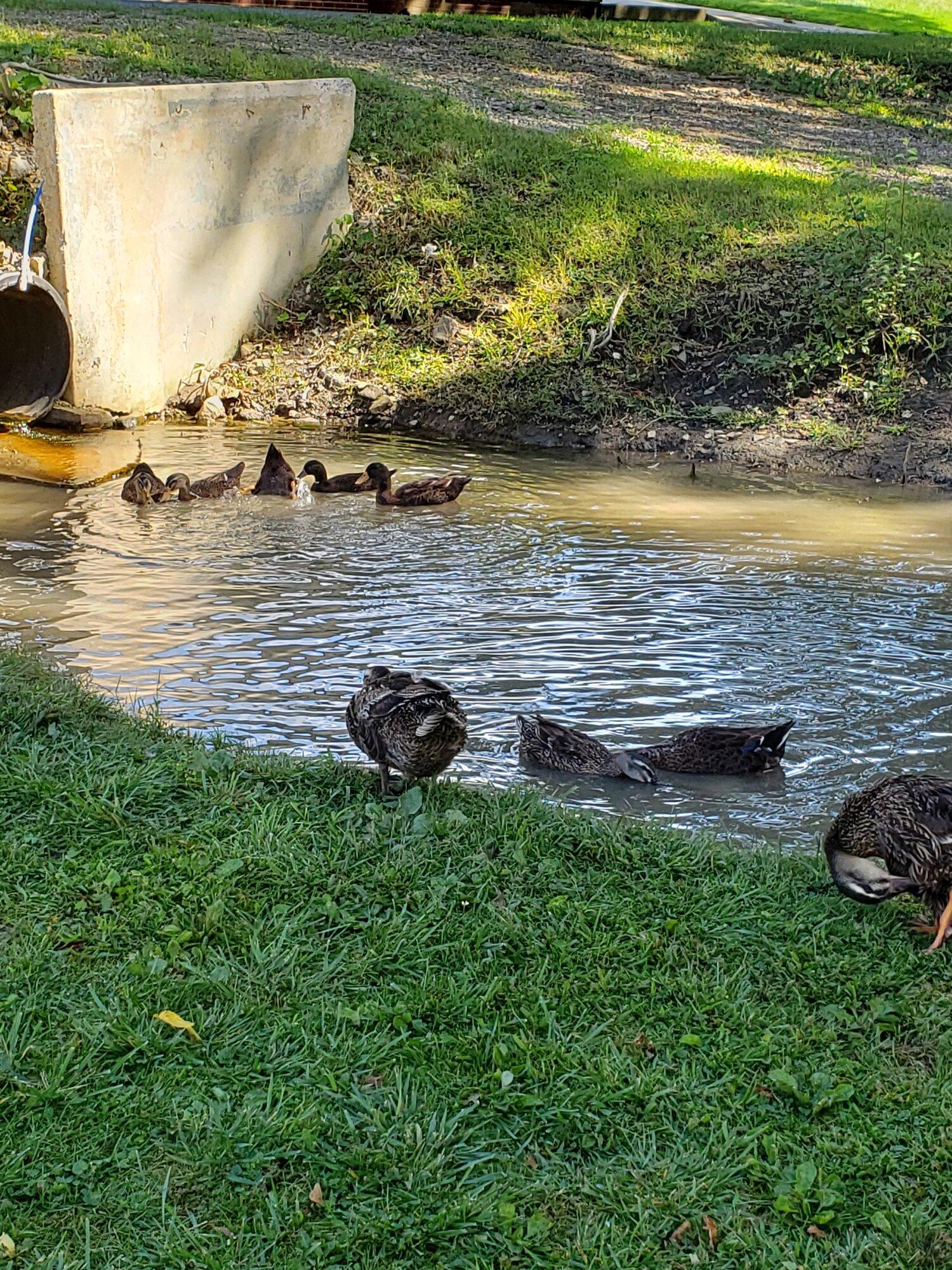 ducks together.jpg
