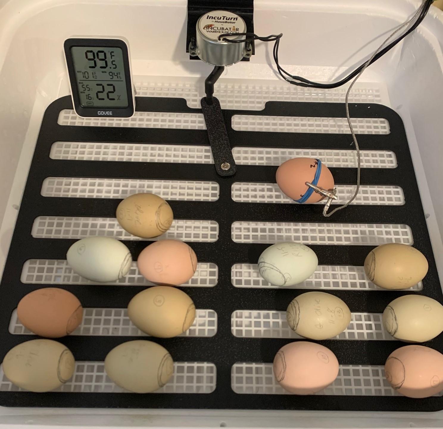 Eggs_in_incubator (2).jpg