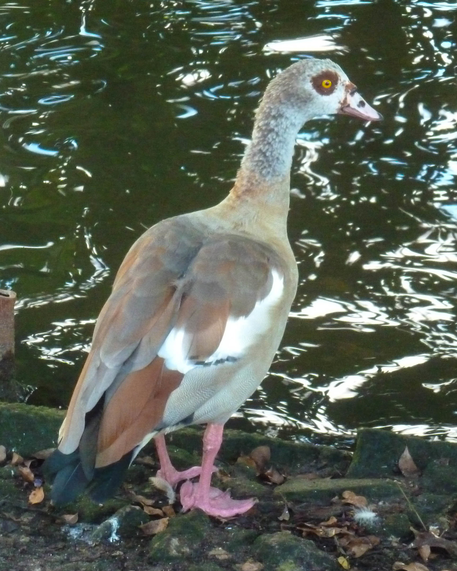 egyptian goose 2 (3 of 1).jpg