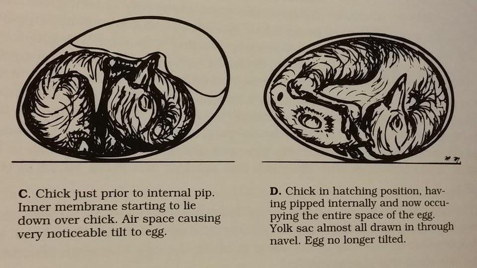 emu egg tilt graphic.jpg