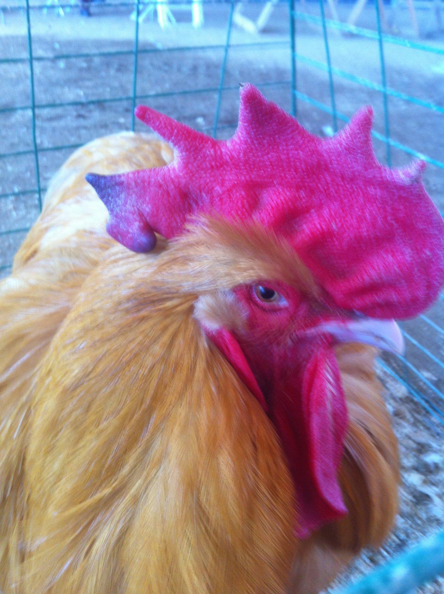 fair rooster.JPG