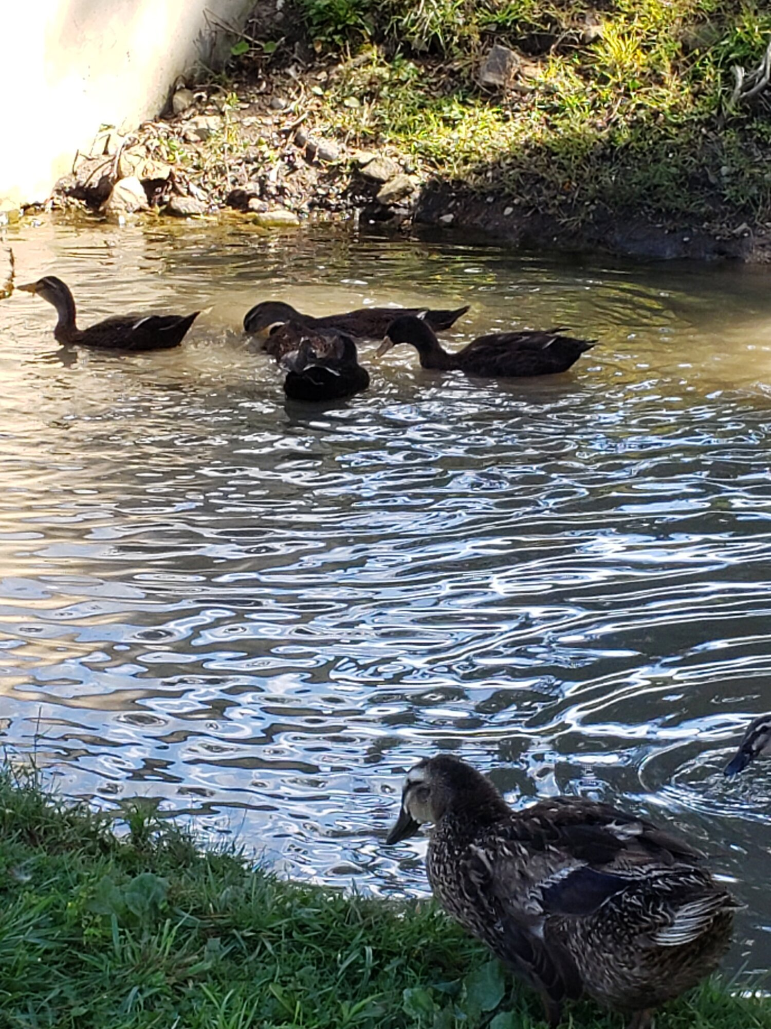 female duck.jpg