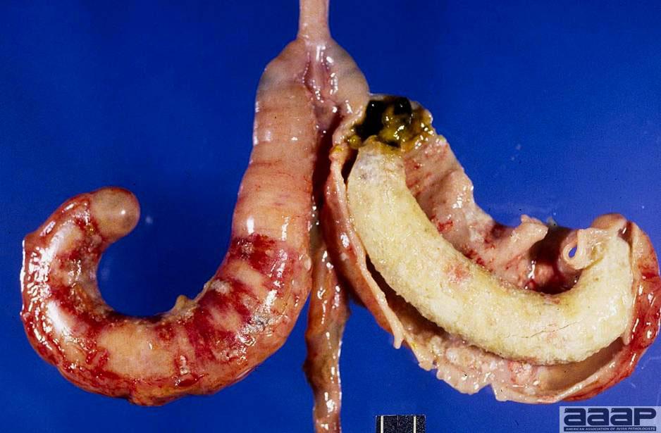 Fig2_Histomoniasis_UCDavis.jpg