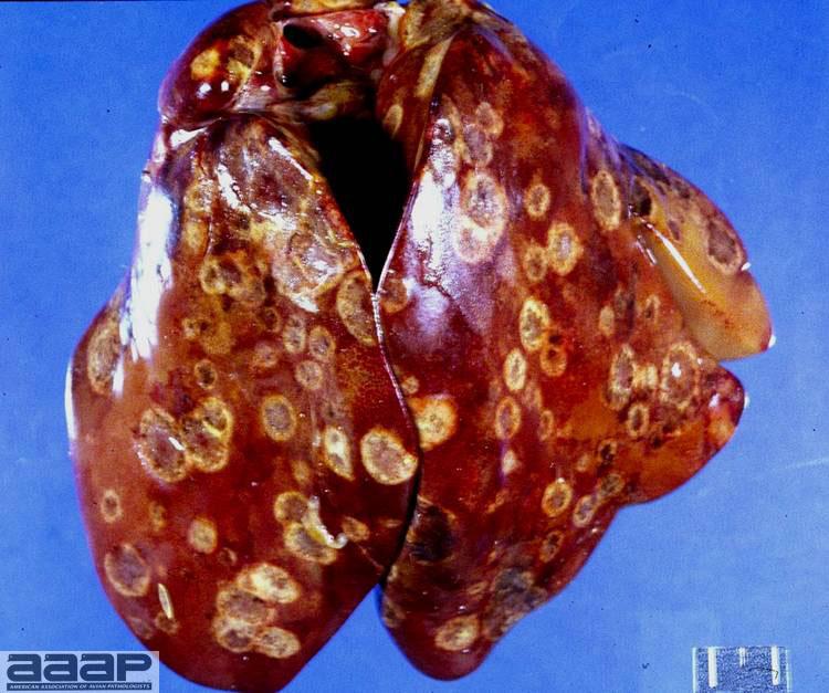 Fig3_Histomoniasis_UCDavis.jpg
