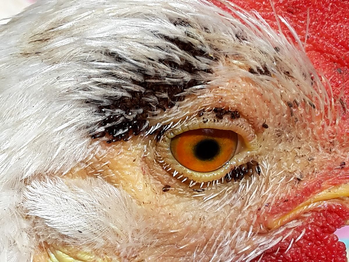 flea_2016-10-01_Chicken_has_Echidnophaga_gallinacea.jpg