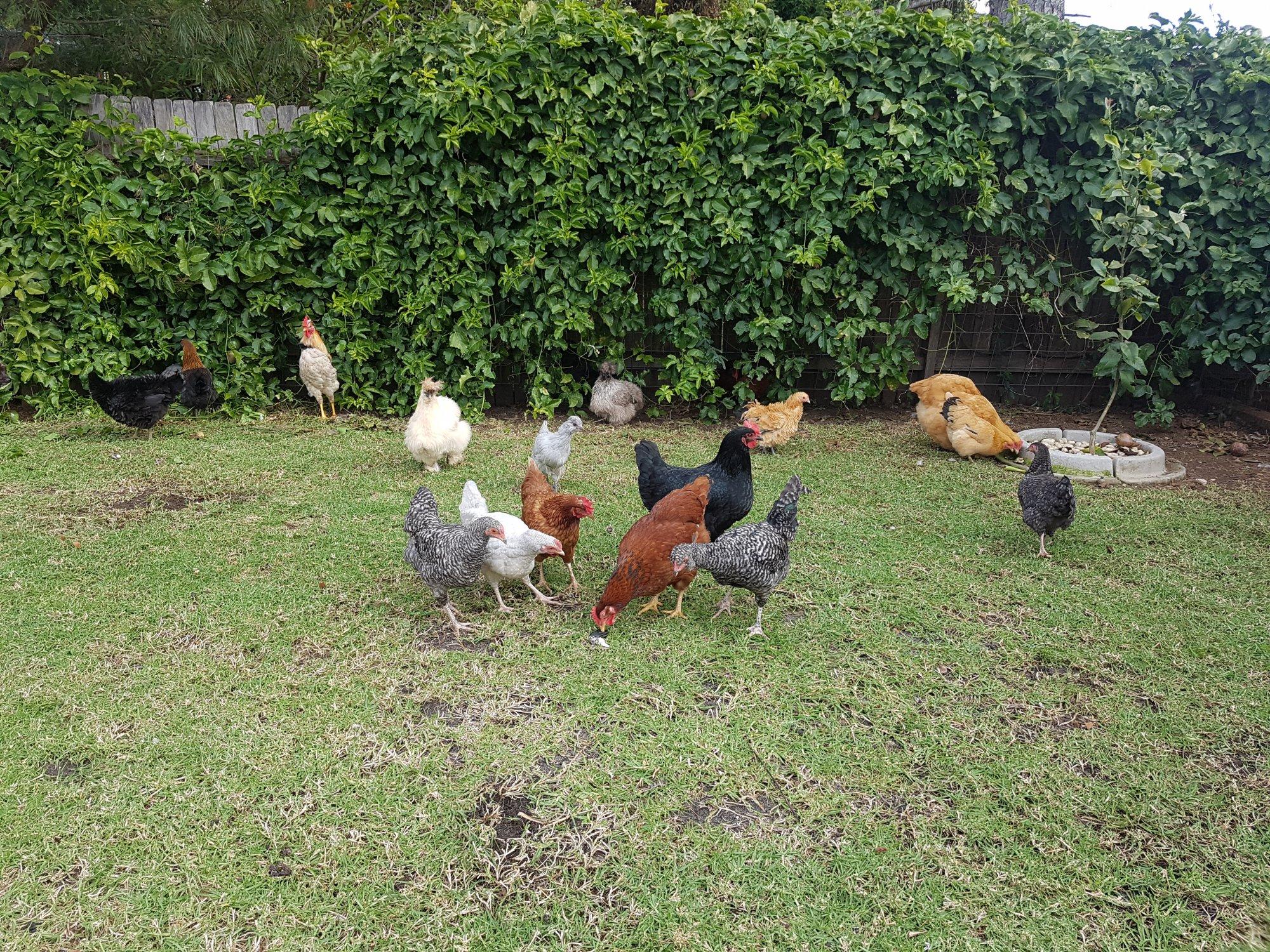 flock free ranging.jpg