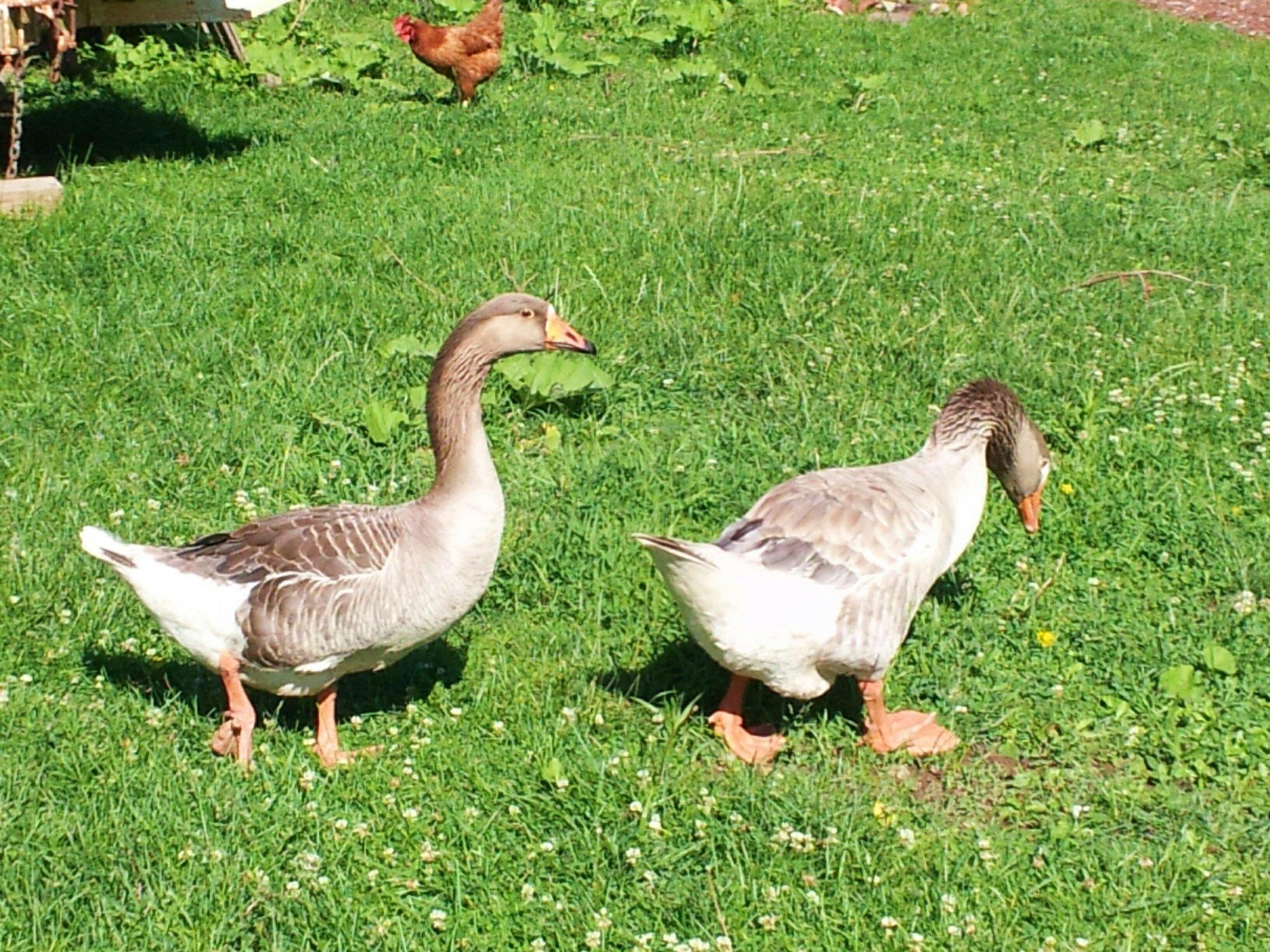 geese 2016 (2).jpg