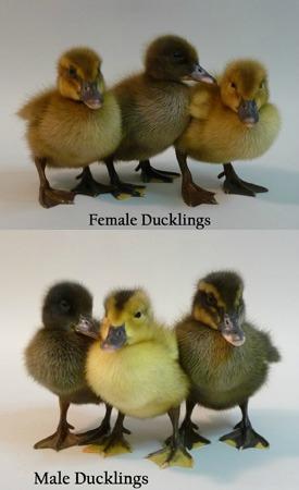 golden-layer-ducks.jpg