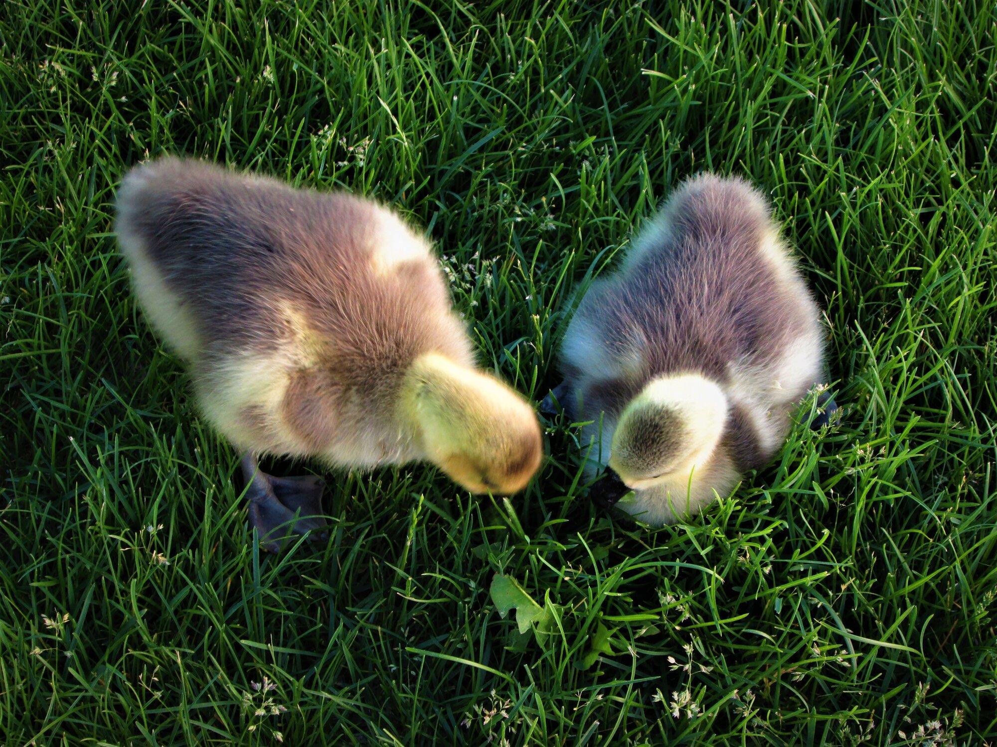 goslings lawn.jpg