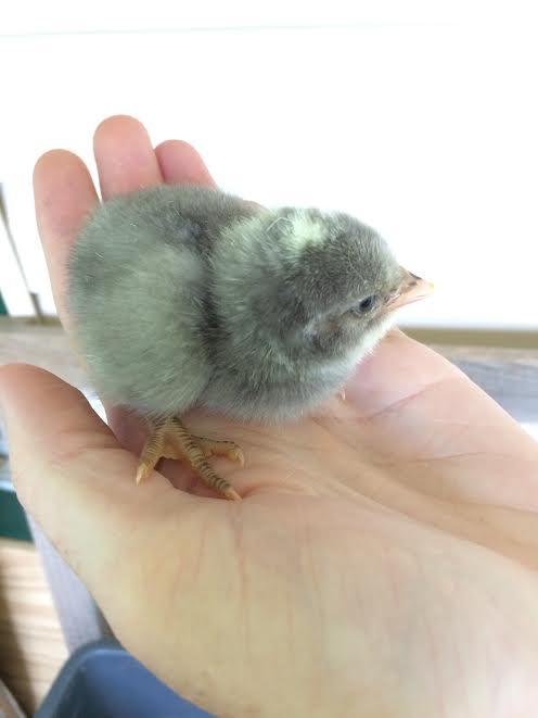 grey chick1.jpg