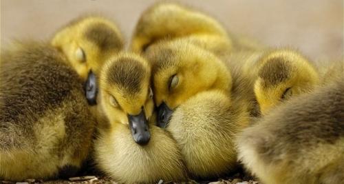 group-of-canada-goose-goslings-sleeping.jpg.jpg